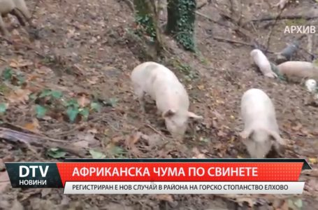 Африканска чума по свинете в Елховско