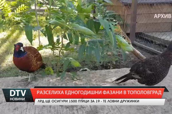 Разселиха фазани  в Тополовградско